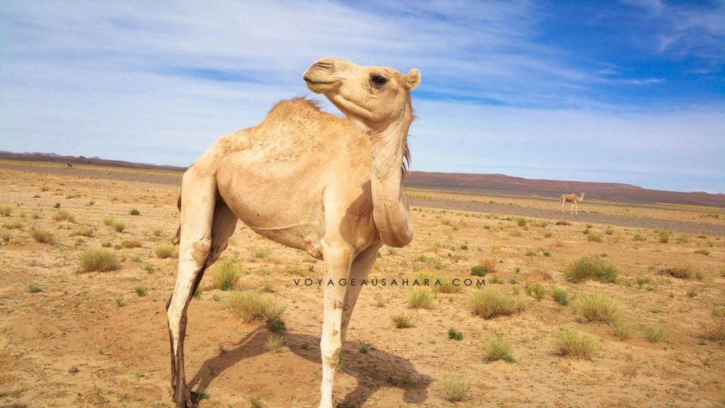 Dromadaires dans l'oued Dider (Sahara algérien)